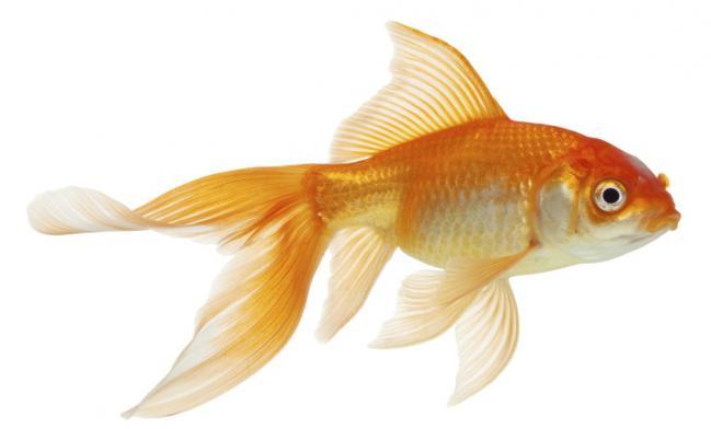 consejos-para-cuidar-un-pez-dorado-2_0